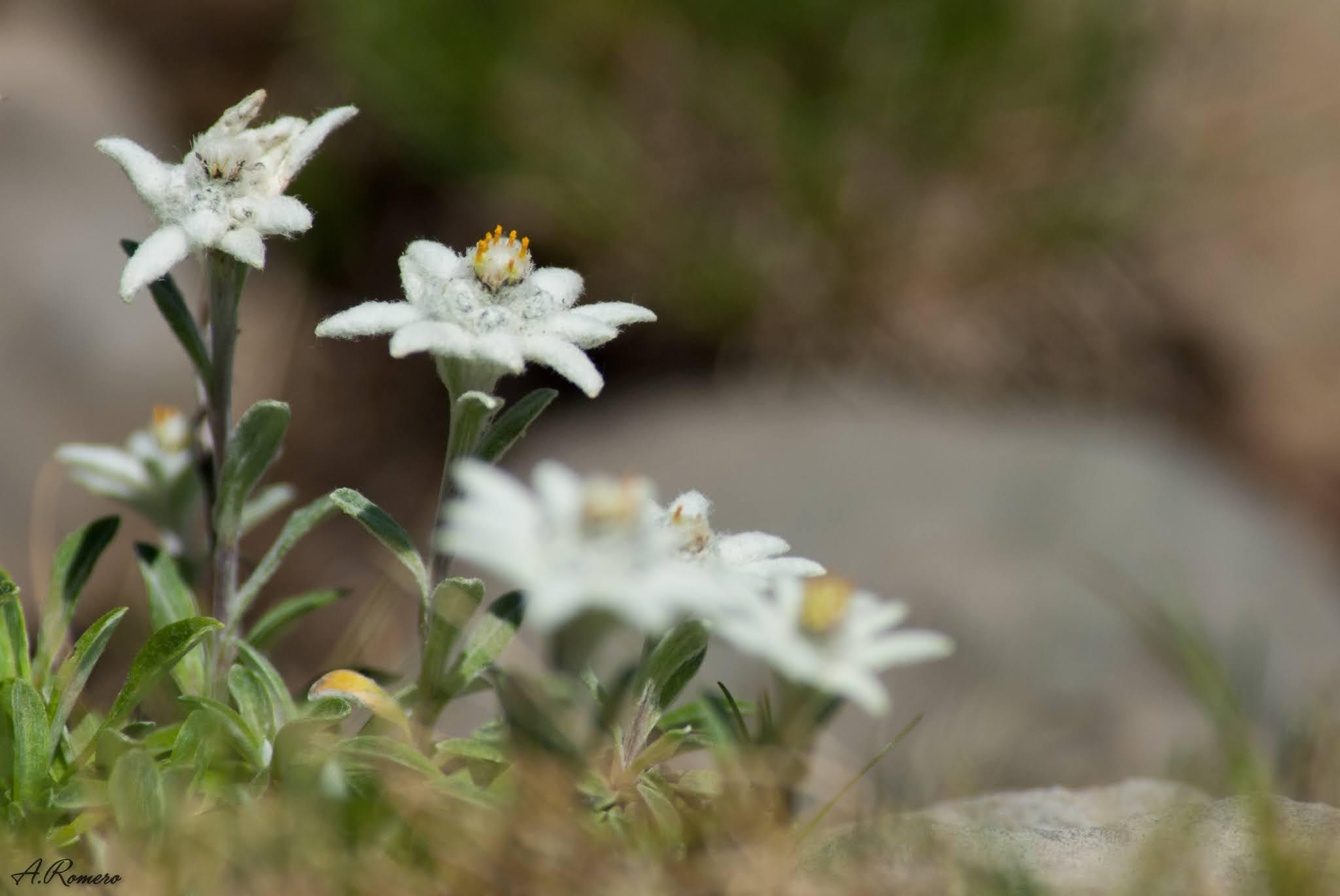 Para atraer a sus polinizadores, en su mayoría moscas, las flores de las nieves  o edelweiss producen una curiosa fragancia floral que mezcla compuestos de olor dulzón con ácidos grasos de olor rancio que recuerdan al sudor humano. Fotografía tomada en el circo de Armeña, Huesca.