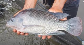Info Harga Supplier Jual Ikan Nila Bibit dan Konsumsi Bandar Lampung, Lampung