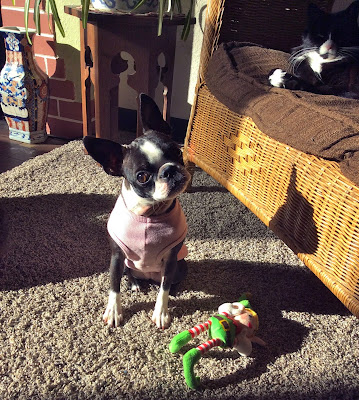 Sinead the Boston terrier with her elf toy