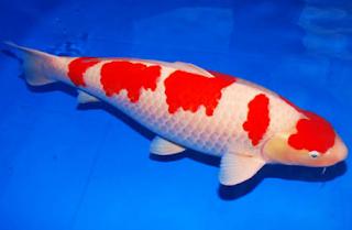 Jenis ikan Koi Kohaku