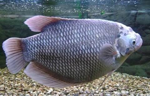 Umpan Ikan Gurame Susah Makan Pancing Begog