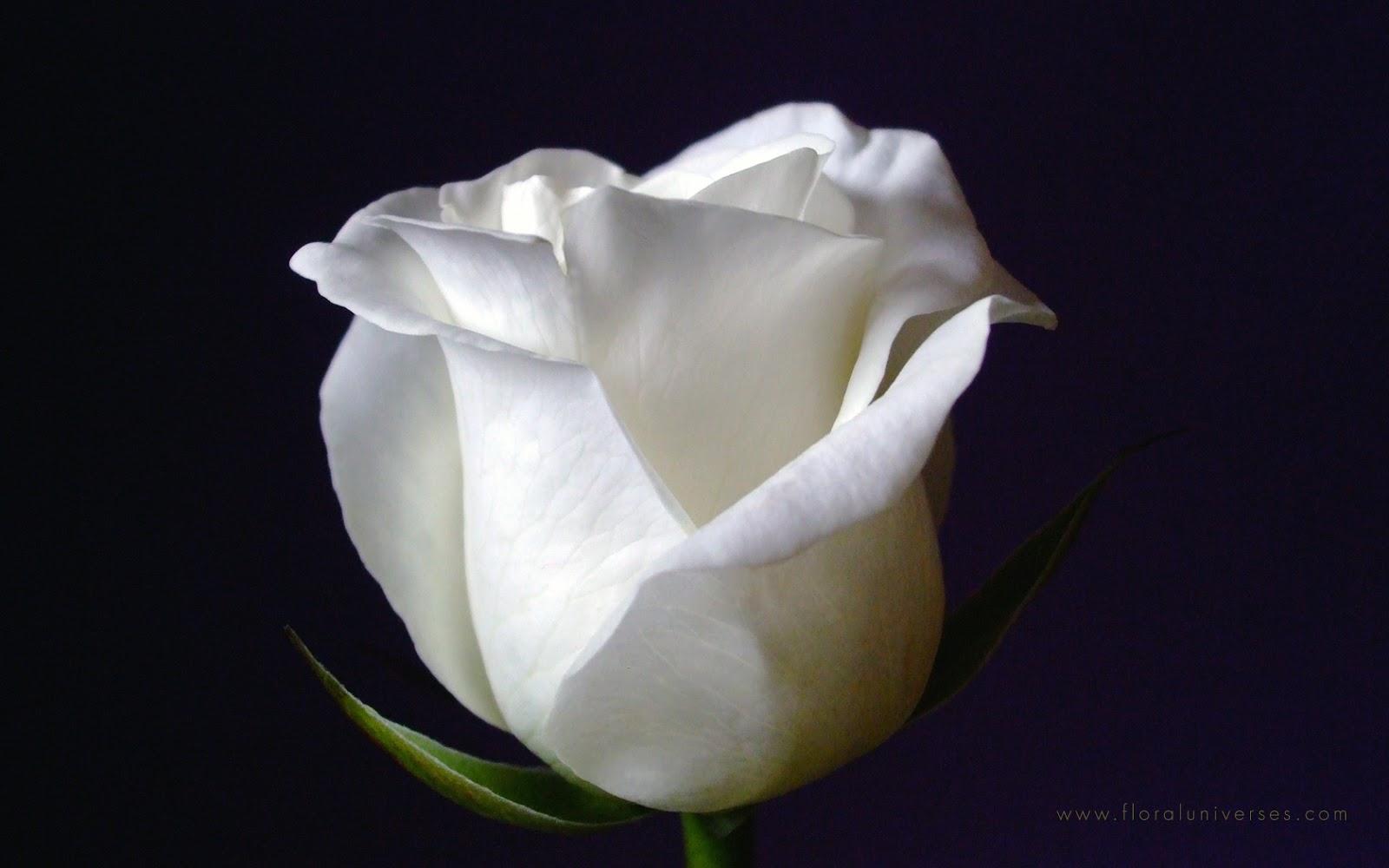 te regalo esta rosa la encontre en el camino