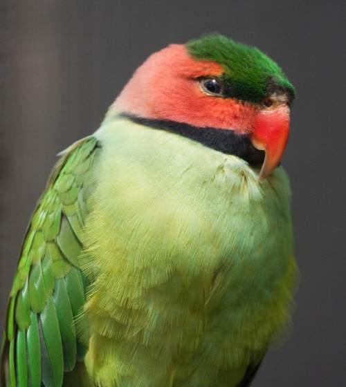 Indian birds - Image of Long-tailed parakeet - Psittacula longicauda