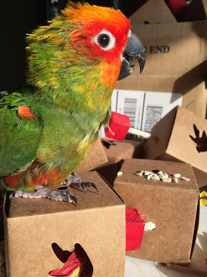 A conure standing on top of a box