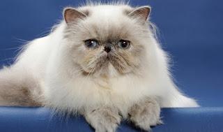 Bikin Melongok, Inilah 7 Kucing Termahal di Dunia