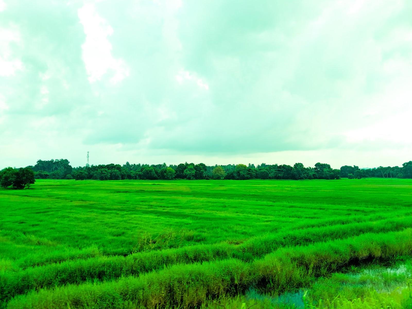 Green Paddy Fields In Sri Lanka