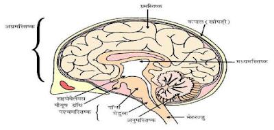 मानव मस्तिष्क के भाग