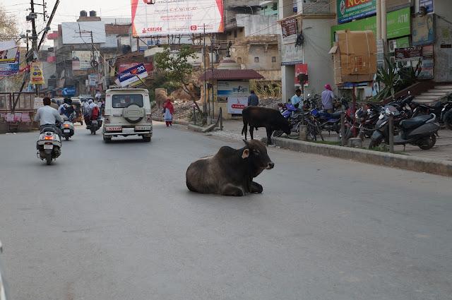 Jalanan di Varanasi dan sapi dibiarkan di tengah jalan