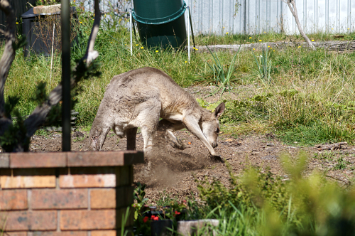 Roo digging in my garden