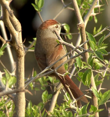 Sooty fronted Spinetail