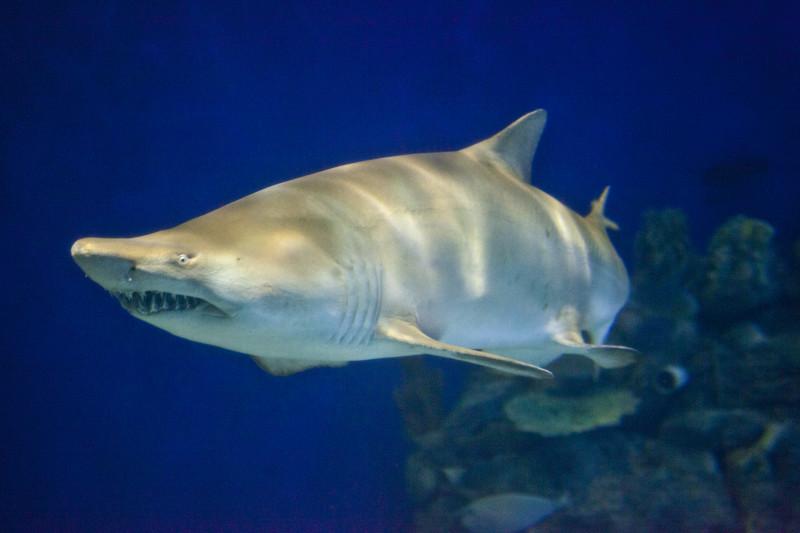 Info-Junction Blog: Sand Tiger Shark  Info-Junction B...