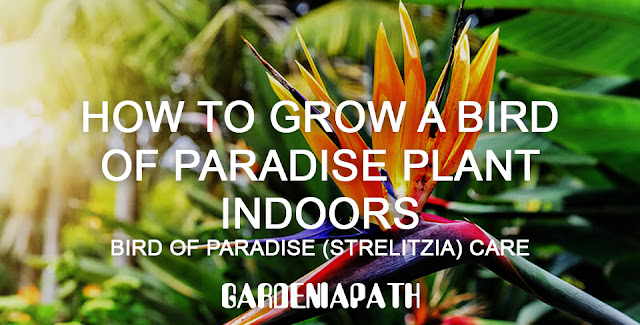 How To Grow A Bird Of Paradise Plant Indoors