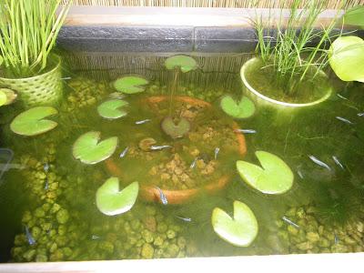 アオミドロ 藻