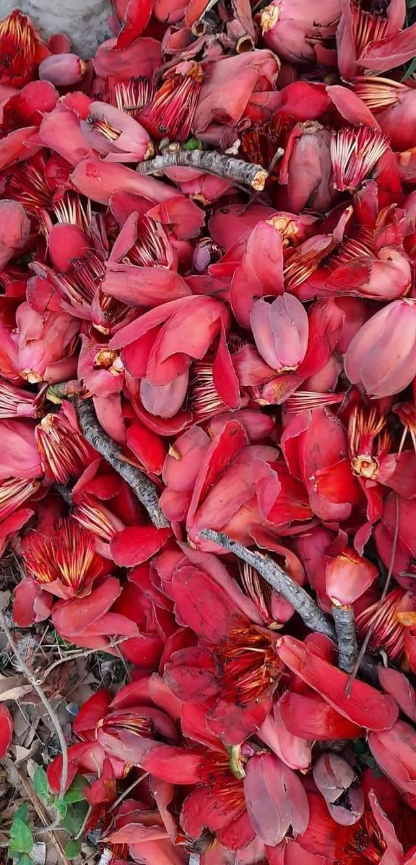 सेमल के फूल
