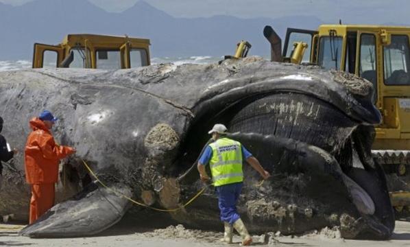 Ikan Paus Raksasa 30 Meter Terdampar