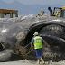 Wow Ikan Paus Raksasa 30 Meter Terdampar di Pantai Besar Sekali