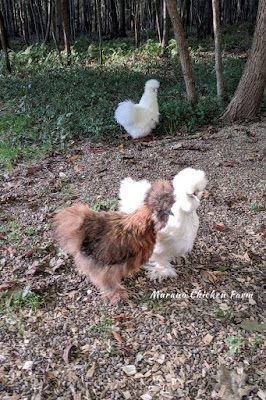 Fluffy chickens, silkies as pets