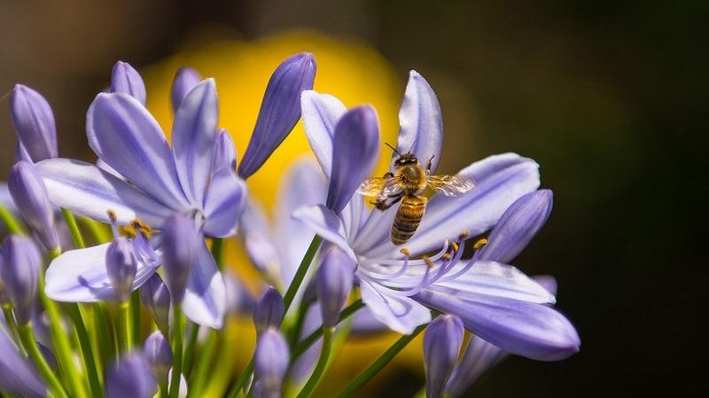 """Agapanthus africanus (agapanto) """"SOS polinizadores"""" y las flores favoritas de abejas y abejorros"""