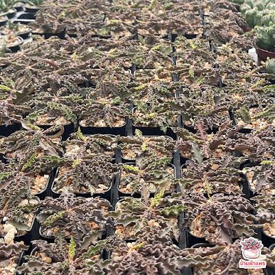 ไม้อวบน้ำ ยูโฟเบีย ไดโนเสาร์ Euphorbia decaryi Spirosticha