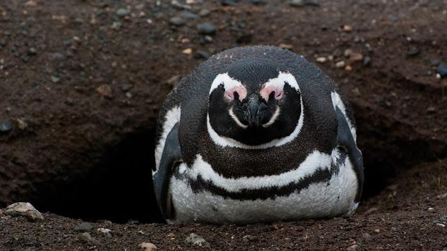 A pesar de ser animales enormemente adaptados al medio acuático, los pingüinos de Magallanes crían a sus polluelos en nidos excavados bajo tierra formando enormes colonias en islas y playas de la Sudamérica más austral.