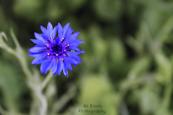 Blue bachelor button flower with water droplets