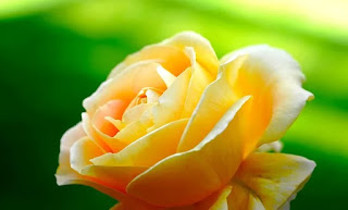 HD FLOWERS IMAGES FREE AND ROYALTY