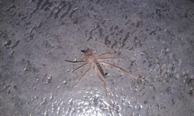ΠΡΟΣΟΧΗ.Αράχνη- Δολοφόνος.Έκανε την εμφάνισή της και στην Ελλάδα