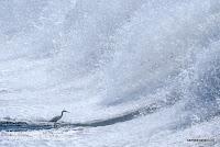 鮎を狙うコサギの写真