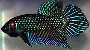 Ikan Cupang Raksasa
