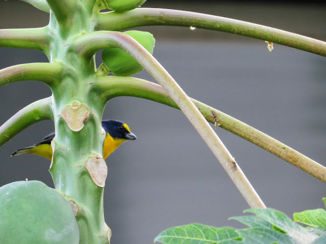 Costa Rica Birds: Thick-billed euphonia