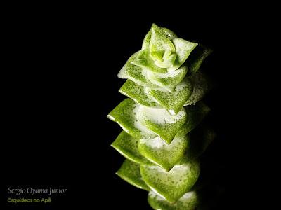 Suculenta Crassula Green Pagoda