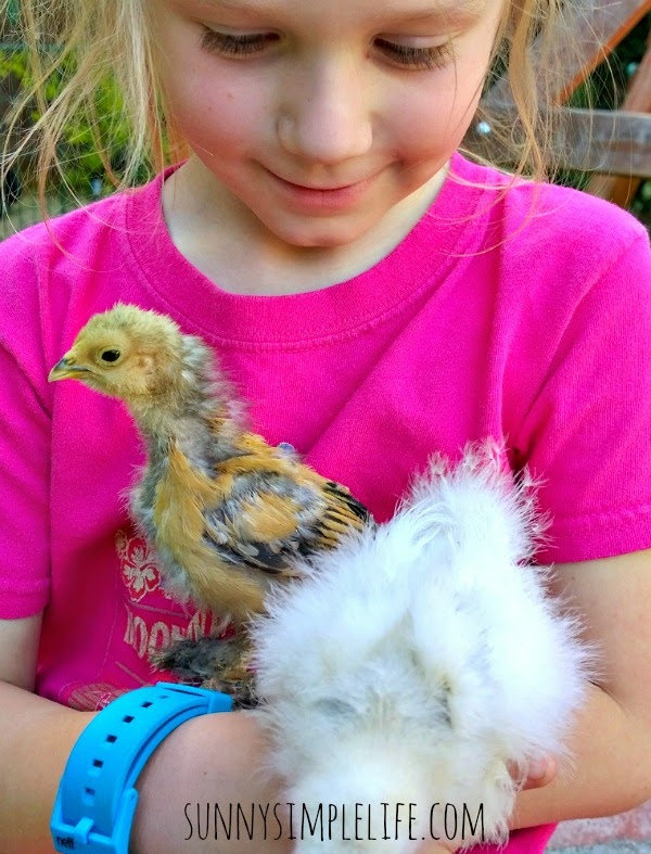 raising baby chicks vs. pullets, silkie chick, mille fleur d'uccle