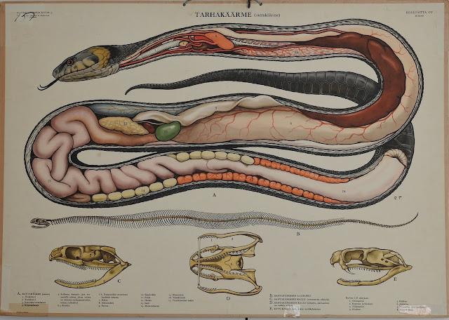 Tarhakäärme, Rantakäärme, opetustaulu, vanha koulutaulu, anatomia