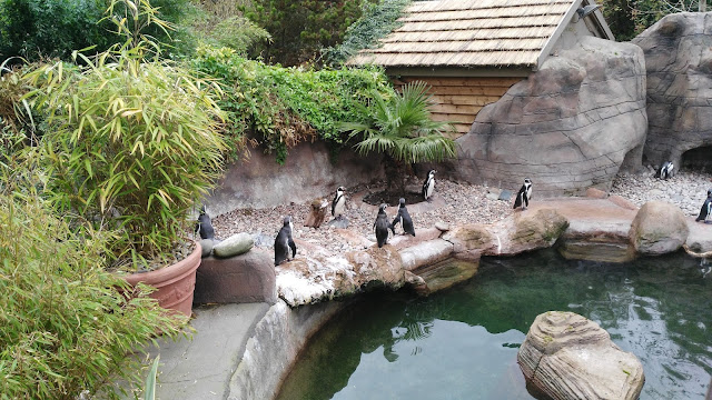 Penguins standing around a pool with green shrubs and grey rockery