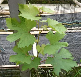gambar bentuk daun anggur banana