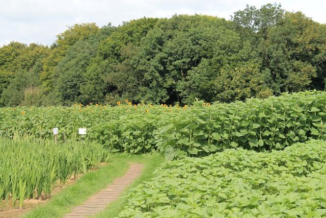 Sonnenblume Herbst Blumenfeld selber pfluecken Bauernhof Jules kleines Freudenhaus