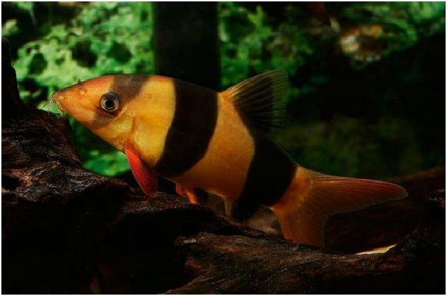 Gambar Ikan Hias Cantik – Ikan Botia