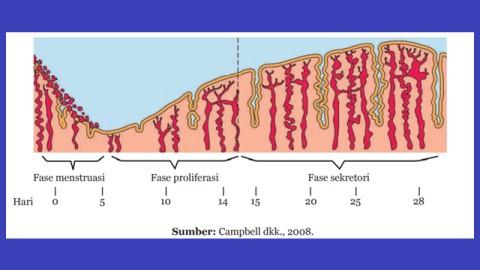 menjelaskan salah satu fase menstruasi berdasarkan gambar