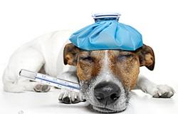 Cão com problema hepático