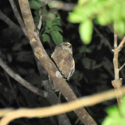 Celepuk biak Burung Hantu Terancam Punah