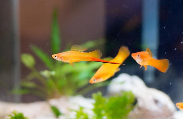 swordtail fish fry
