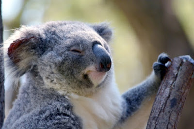 Evolutionists think that part of our DNA came from outside through retroviruses. An examination of koalas did not support this idea.