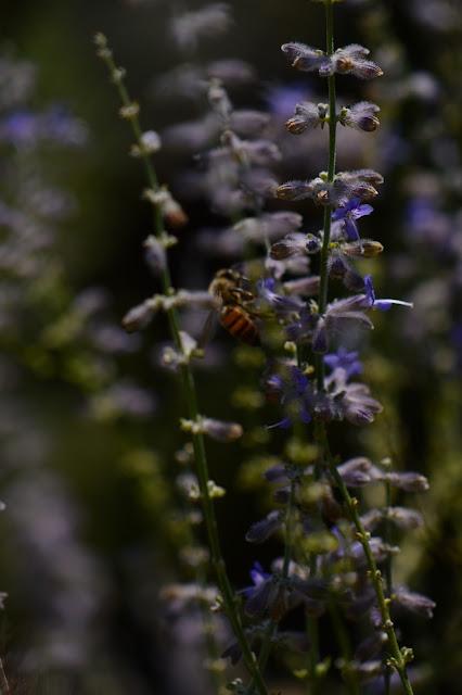 perovskia, small sunny garden, amy myers, photography, desert garden, tuesday view