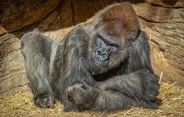 Kebun Binatang AS 13 Gorila Positif Covid-19, Orangutan dan Harimau Sumatera Akan Divaksin