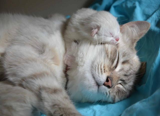 Les secrets pour élever un chat apprivoisé et sortant