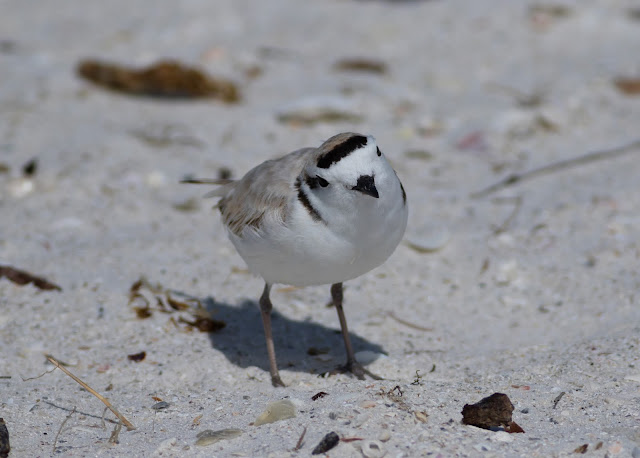 Snowy Plover - Carlos Pointe, Florida