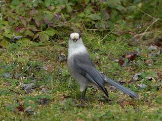 Mésangeai du Canada - Perisoreus canadensis