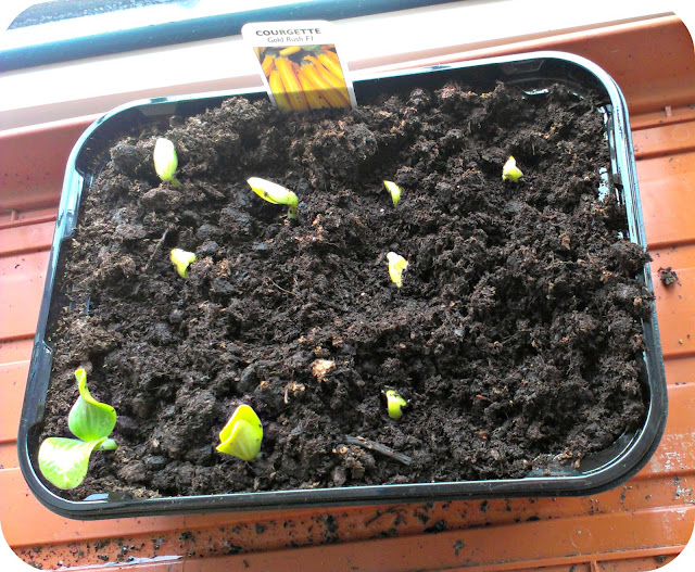 New courgette seedlings