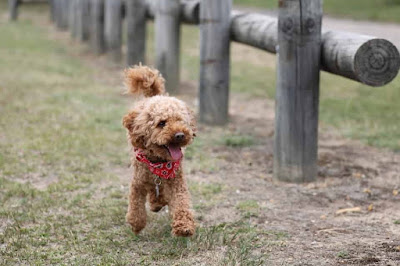 toy dog breeds, toy dogs