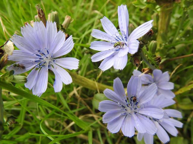 flores de achicoria